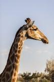 Голова жирафа Стоковые Изображения RF