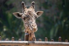 Голова жирафа Masai Стоковое Изображение