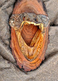 Голова захватнических рыб Стоковые Изображения