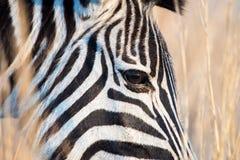 Голова зебры крупного плана с предпосылкой сухой травы Стоковое Изображение RF