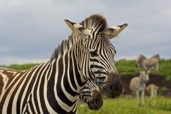 Голова зебры, парк сафари в Южной Африке Стоковая Фотография