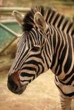 Голова зебры Стоковые Фото