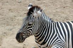 Голова зебры Стоковая Фотография RF