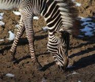Голова зебры Grevy Стоковая Фотография RF