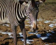 Голова зебры Grevy Стоковые Изображения