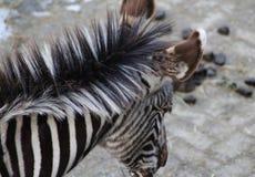 Голова зебры Grevys Стоковая Фотография RF