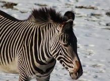 Голова зебры Grevys Стоковое Фото