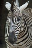 Голова зебр конца-вверх Стоковые Изображения