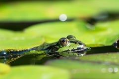 Голова зеленых лягушек Стоковое Изображение