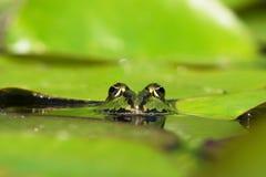 Голова зеленых лягушек Стоковые Изображения RF
