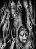 Голова изображения Будды в дереве root2 Стоковое Фото