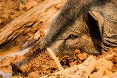 Голова дикого кабана в грязи Стоковая Фотография