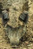Голова дикого кабана Стоковое Изображение