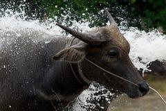 Голова индийского буйвола Стоковое Фото