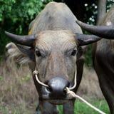 Голова индийского буйвола Стоковое фото RF