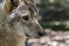 Голова и глаза волка Стоковое Изображение RF