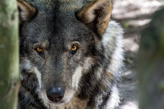 Голова и глаза волка Стоковые Изображения RF