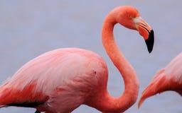 Голова и тело снятые фламинго Стоковое Изображение