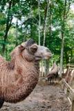 Голова и шея верблюда в профиле Стоковые Изображения