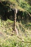 Голова и шея жирафа над ветвями Стоковая Фотография RF
