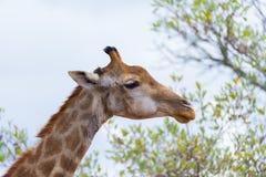Голова и шея жирафа профилируют, закрывают вверх и портрет Сафари живой природы в национальном парке Kruger, главном назначении п Стоковые Изображения RF