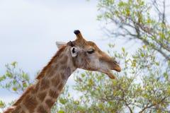 Голова и шея жирафа профилируют, закрывают вверх и портрет Сафари живой природы в национальном парке Kruger, главном назначении п Стоковые Изображения