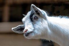Голова и шея козы младенца Стоковые Фото