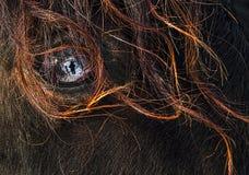 Голова канадской лошади Стоковое Фото