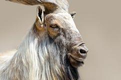 Голова козочки козла Стоковые Фотографии RF