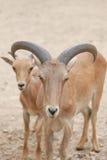 Голова козы Брайна или Capra Hirous Стоковая Фотография