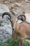 Голова козы Брайна или Capra Hirous Стоковые Фотографии RF