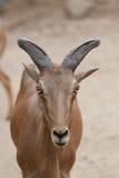 Голова козы Брайна или Capra Hirous Стоковое Изображение