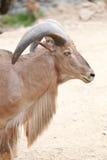 Голова козы Брайна или Capra Hirous Стоковые Изображения RF