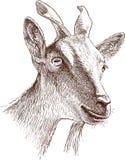 Голова козы горы Стоковое Изображение