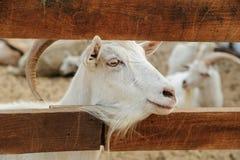 Голова козы между планками загородки Стоковые Изображения RF