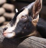 Голова козы отдыхая на загородке Стоковые Фото