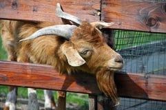 Голова козы с рожками Стоковая Фотография RF