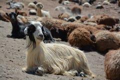 Голова козы Стоковые Изображения