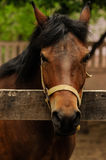 Голова конца-вверх лошади в ручке Стоковые Изображения RF