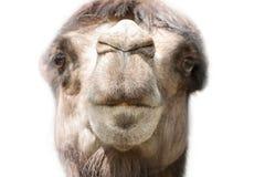 Голова конца верблюда вверх Стоковая Фотография