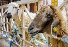 Голова коричневых овец в ферме Стоковое фото RF