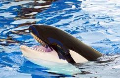 Голова косатки или дельфин-касатки, Orcinus Стоковая Фотография