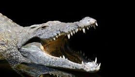 Голова крокодила стоковое изображение rf