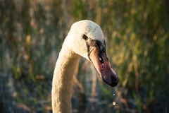 Голова крупного плана белой птицы лебедя на озере на заходе солнца Стоковая Фотография