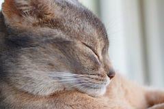 Голова крупного плана кота спать молодого абиссинского стоковое фото