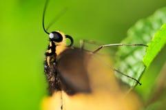 Голова макроса бабочки Swallowtail гиганта Стоковое Изображение