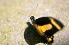 Голова макроса бабочки Swallowtail Стоковое Изображение RF
