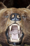Голова медведя Стоковые Фото