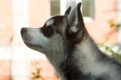 Голова милого осиплого щенка Стоковые Изображения RF