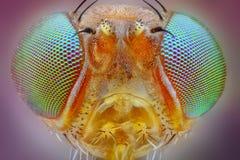 голова мухы принятая с задачей микроскопа 25x   стоковое фото